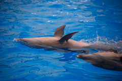 Two dolphins close up. Phuket. Stock Images