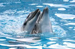 Two dolphins cuddle in the water. Love royalty free stock photo