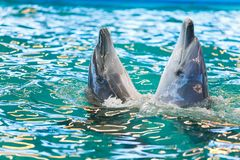 Two dolphins dancing in blue water royalty free stock images
