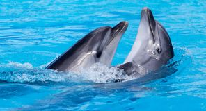 Two dolphins dancing in the pool. In the park in nature stock images