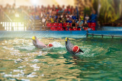 Two dolphins at dolphinarium Stock Images