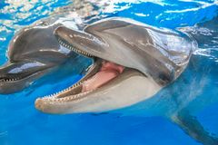 Two dolphins in the foreground. One opened his mouth stock photo