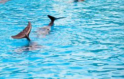 Two dolphins frolic in the blue clear water Stock Image
