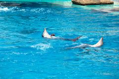 Two dolphins frolic in the blue clear water Royalty Free Stock Images