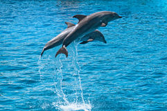 Two dolphins jump above water Royalty Free Stock Photos