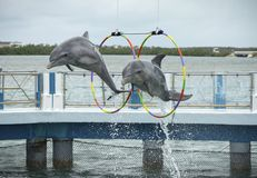 Two dolphins jump in the dolphinarium. Two dolphins jump during the show in the dolphinarium. Cayo Santa María, Villa Clara Province, Cuba. Spring 2018 stock photography