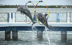 Two dolphins jump in the dolphinarium. Two dolphins jump during the show in the dolphinarium. Cayo Santa María, Villa Clara Province, Cuba. Spring 2018 stock images