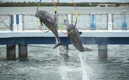 Two dolphins jump in the dolphinarium. Two dolphins jump during the show in the dolphinarium. Cayo Santa María, Villa Clara Province, Cuba. Spring 2018 royalty free stock photos