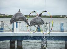 Two dolphins jump in the dolphinarium. Two dolphins jump during the show in the dolphinarium. Cayo Santa María, Villa Clara Province, Cuba. Spring 2018 stock photos