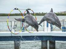 Two dolphins jump in the dolphinarium. Two dolphins jump during the show in the dolphinarium. Cayo Santa María, Villa Clara Province, Cuba. Spring 2018 royalty free stock image
