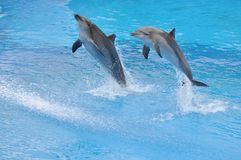 Two dolphins jump out of water Royalty Free Stock Photos