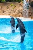 Two dolphins jump out of the water and walk on their tails during a show in the zoo in Tenerife, Spain Royalty Free Stock Photos