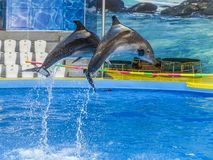 Two dolphins jump over the crossbar in the Dolphinarium stock photography