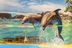 Two dolphins jump over a hanging crossbar. Animal show stock photos