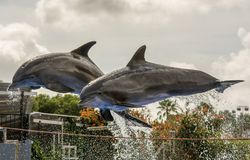 Two dolphins jump out of the water during a dolphin show royalty free stock photography
