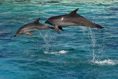 Two Dolphins Jumping Stock Photos