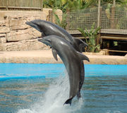 Two Dolphins Jumping. Dolphins performing synchronized swimming at an oceanarium in South Africa Stock Photography