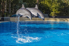 Two Dolphins Jumping in Formation Royalty Free Stock Photos