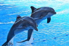 Dolphin show. Two dolphins jumping out of the water during a dolphin show royalty free stock images