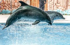 Two dolphins jumping from the pool in the park.  royalty free stock image