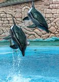 Two dolphins jumping from the pool in the park.  stock photos