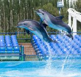 Two dolphins jumping in the pool. In the park in nature stock photography