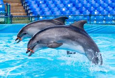Two dolphins jumping in the pool. In the park in nature royalty free stock images