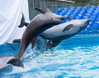 Two dolphins jumping in the pool. In the park in nature stock images
