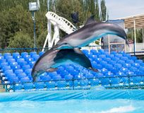 Two dolphins jumping in the pool. In the park in nature stock photo