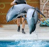 Two dolphins jumping from the pool in the park.  stock image