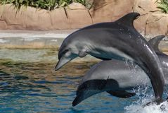 Two dolphins leaping out Stock Images
