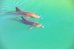 Two Dolphins Monkey Mia. Two cute dolphins swim in clear waters of Monkey Mia, a marine reserve near Denham, Shark Bay, on coral coast in Western Australia royalty free stock image