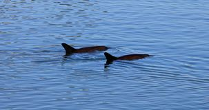 Two dolphins Monkey Mia. Two cute dolphins swim in clear waters of Monkey Mia, a marine reserve near Denham, Shark Bay, on coral coast in Western Australia stock video