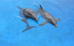 Two dolphins Royalty Free Stock Photos