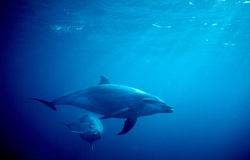 Two Dolphins in Ocean Royalty Free Stock Photo