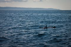 Two dolphins in Pacific ocean near Costarica. Two dolphins in ocean near Costarica, dolphin fin stock photography