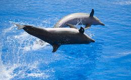 Two dolphins performing a show. Two Atlantic dolphins playing and splashing in the water Stock Photo
