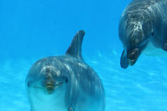 Two Dolphins Playing. Ocean Life - Two dolphins playing in the blue water Stock Images