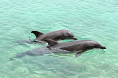 Two dolphins playing. In an ocean lagoon Royalty Free Stock Photography