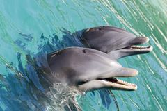 Two Dolphins Playing. Two dolpins playing in ocean Stock Images