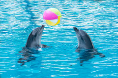Two dolphins playing ball in dolphinarium. Skadovsk, Ukraine Stock Photos