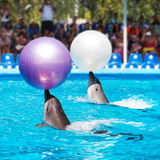 Two dolphins playing  in dolphinarium. Two dolphins playing with ball in dolphinarium Royalty Free Stock Photo