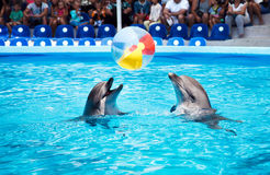 Two dolphins playing  in dolphinarium. Two dolphins playing with ball in dolphinarium Royalty Free Stock Photos