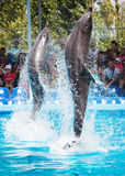Two dolphins playing  in dolphinarium Stock Images
