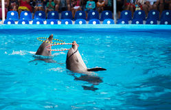 Two dolphins playing  in dolphinarium. Two dolphins playing with rings in dolphinarium Royalty Free Stock Photo
