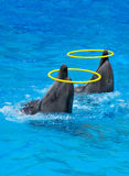 Two dolphins playing with rings. In dolphinarium Stock Images