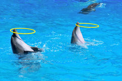 Two dolphins playing with rings. In dolphinarium Royalty Free Stock Images