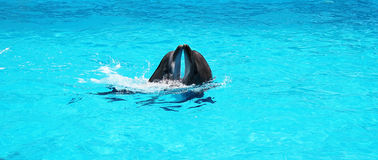 Two dolphins playing together in a clear azure pool water. In the dolphinarium Royalty Free Stock Photos