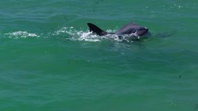 Two dolphins playing in the water. A medium shot of two dolphins playing in the water stock footage