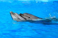 Two dolphins Stock Images